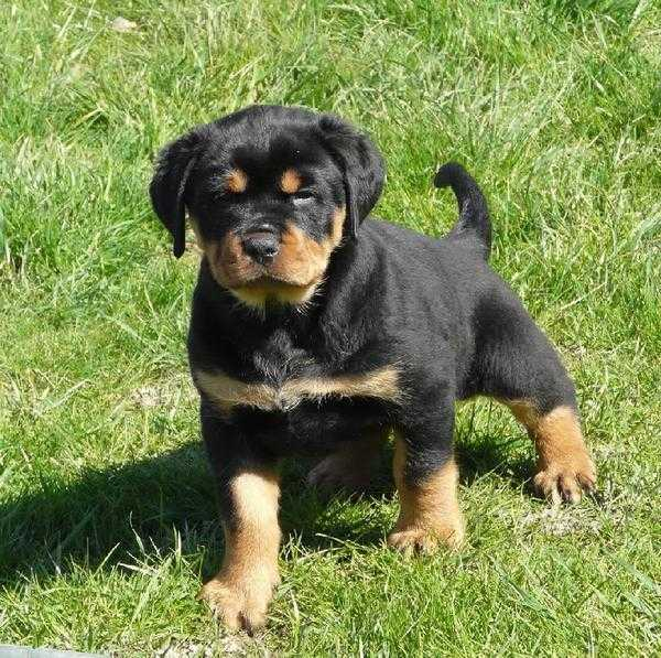 Chiot Rottweiler Royal !